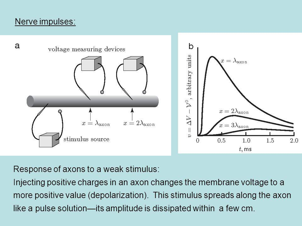 Nerve impulses: Response of axons to a weak stimulus: