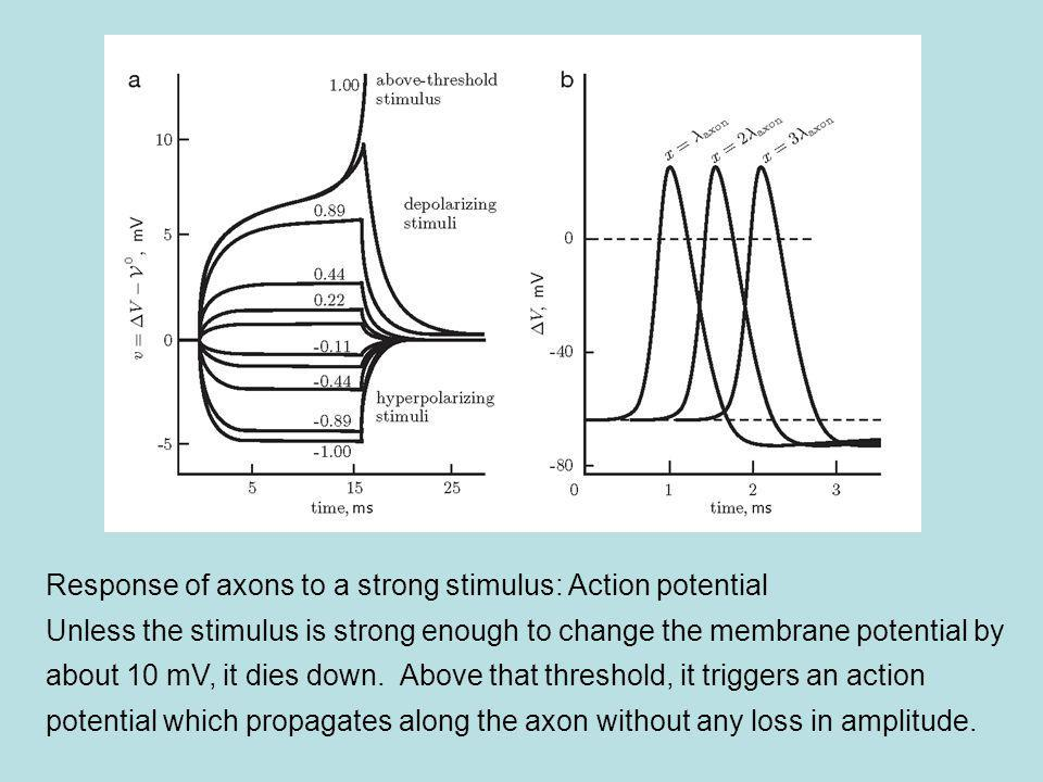 Response of axons to a strong stimulus: Action potential