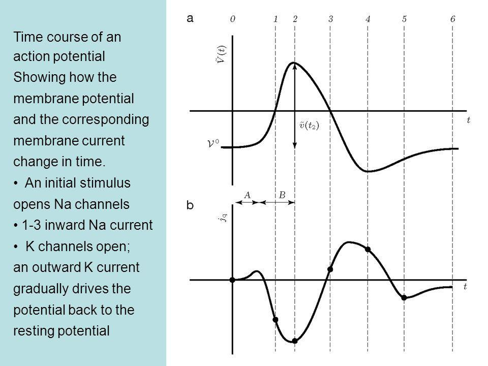 Time course of an action potential