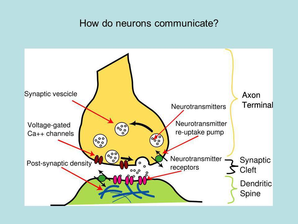 How do neurons communicate