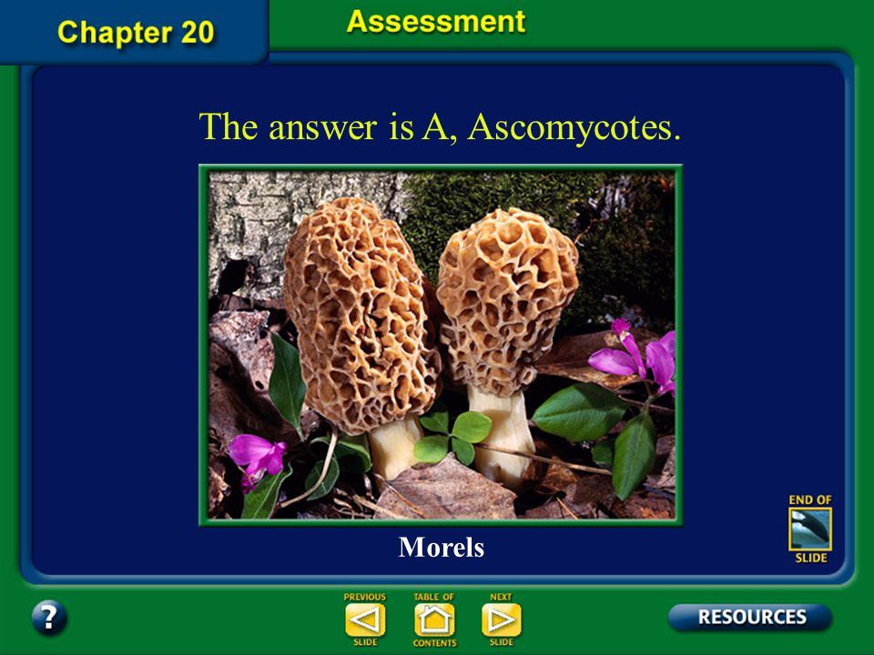 The answer is A, Ascomycotes.