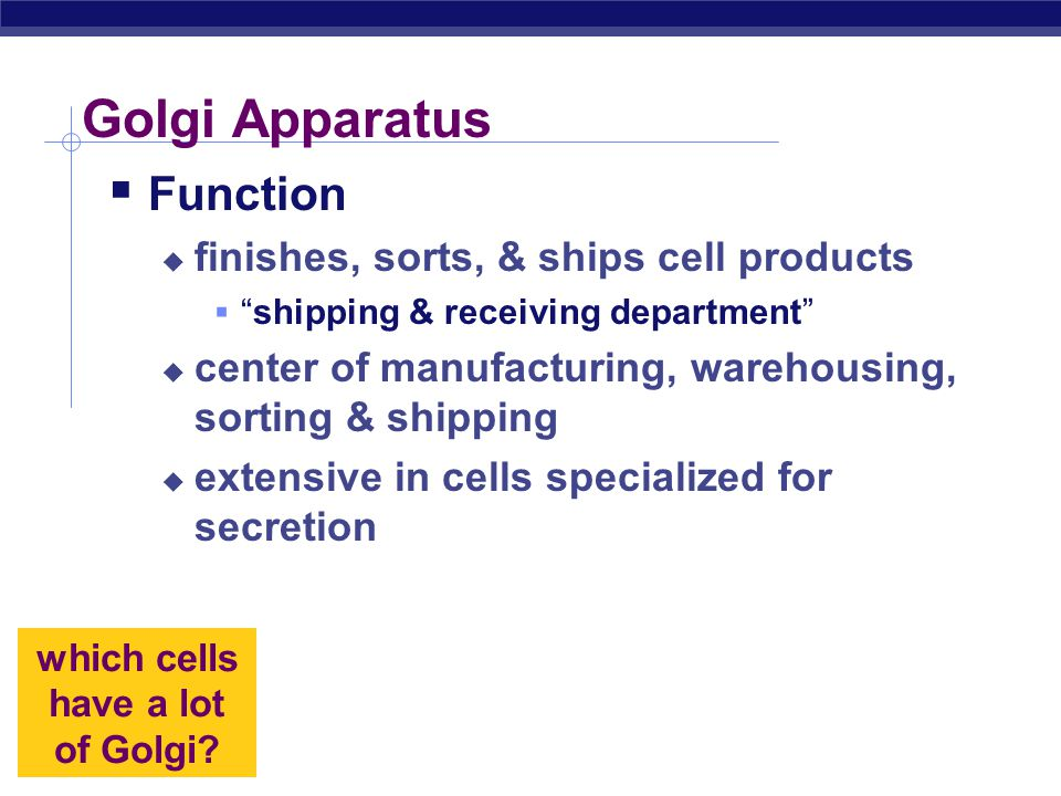 which cells have a lot of Golgi