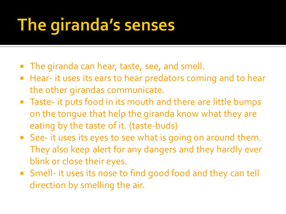 The giranda's senses The giranda can hear, taste, see, and smell.