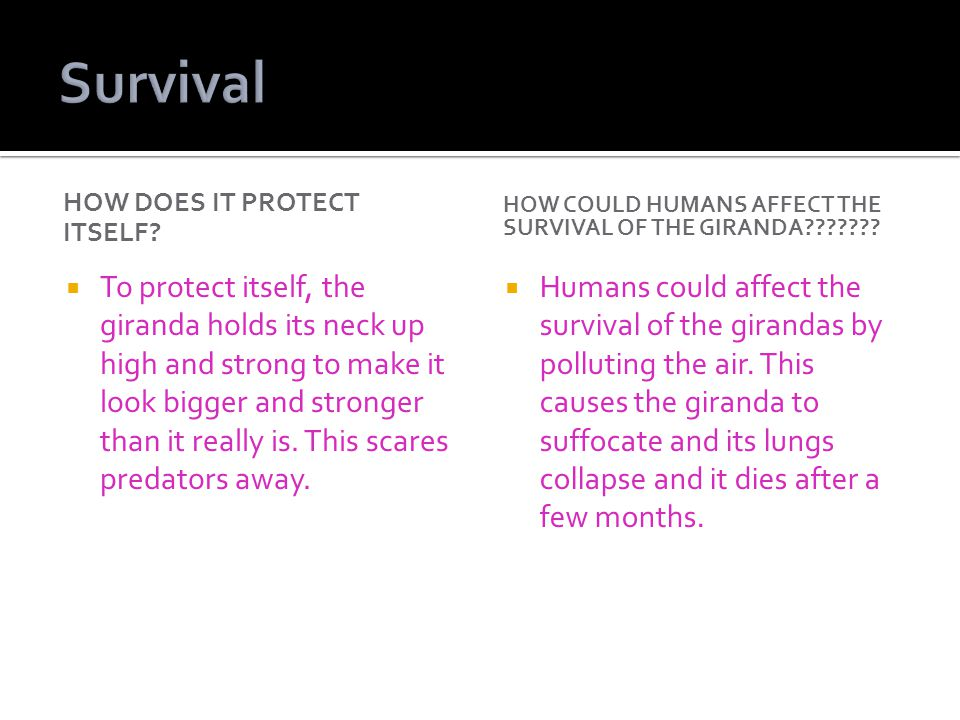 Survival How does it protect itself How could humans affect the survival of the giranda