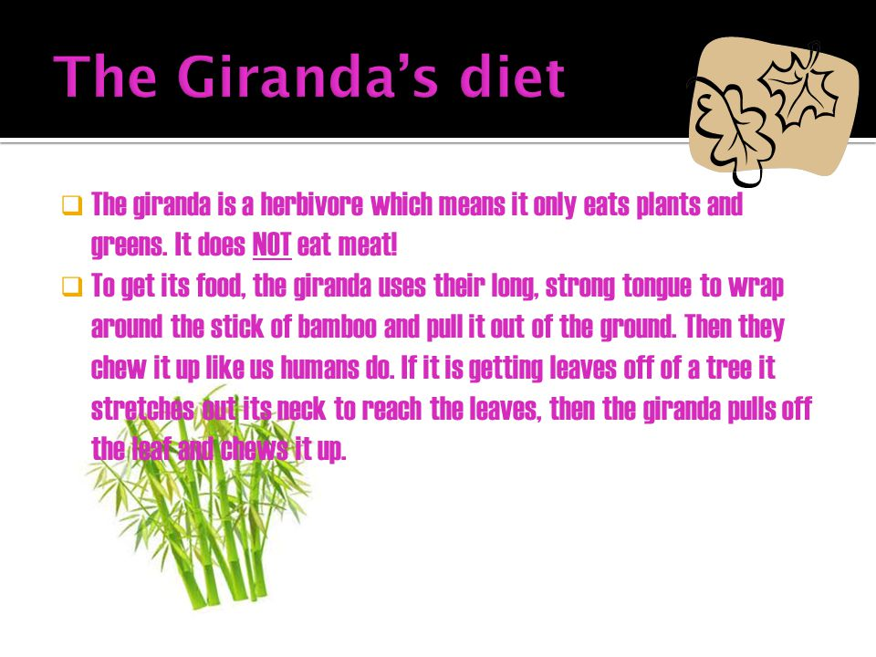 The Giranda's diet The giranda is a herbivore which means it only eats plants and greens. It does NOT eat meat!