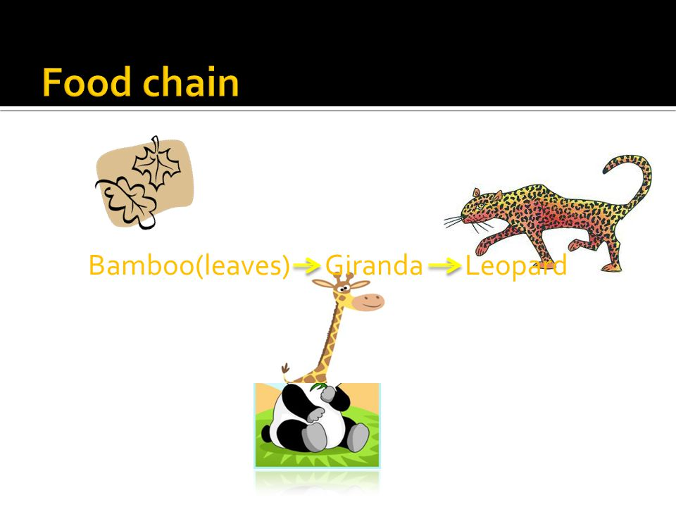 Food chain Bamboo(leaves) Giranda Leopard