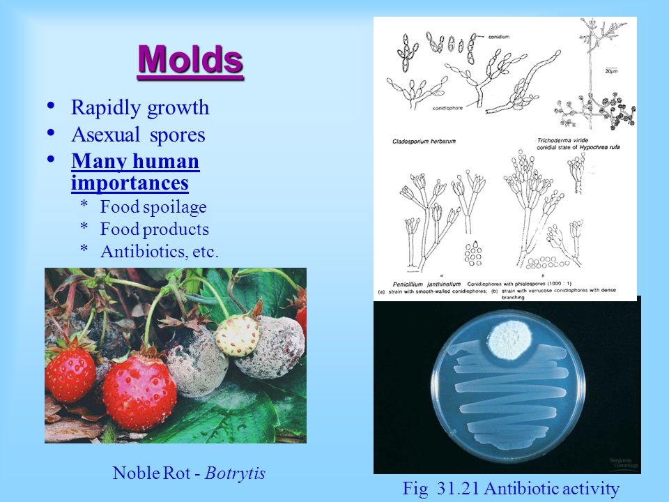 Molds Rapidly growth Asexual spores Many human importances