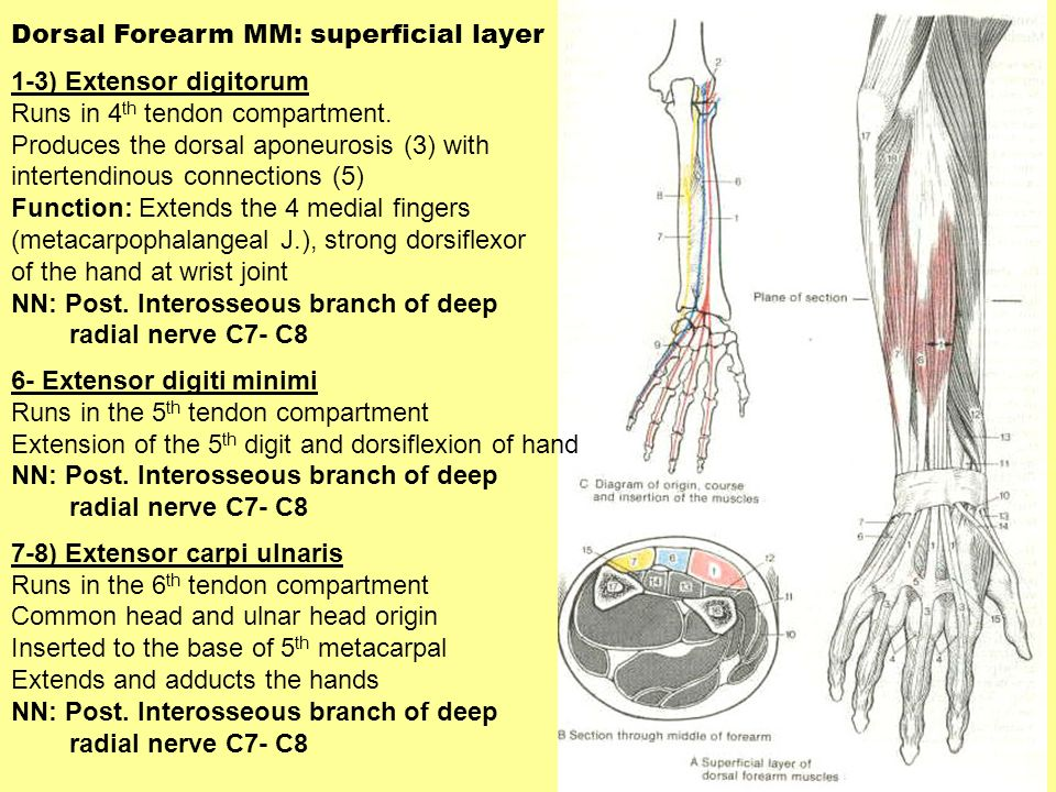Dorsal Forearm MM: superficial layer