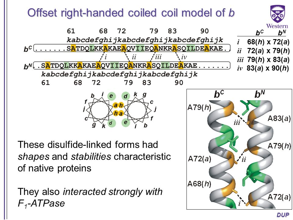 Offset right-handed coiled coil model of b