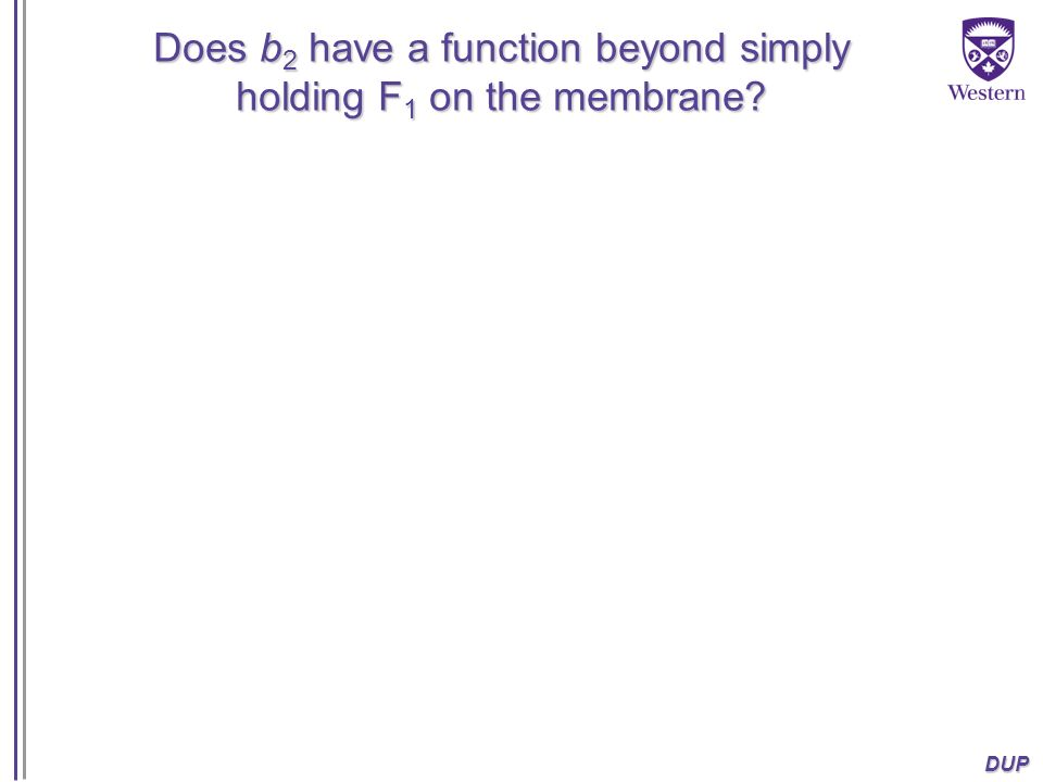 Does b2 have a function beyond simply holding F1 on the membrane