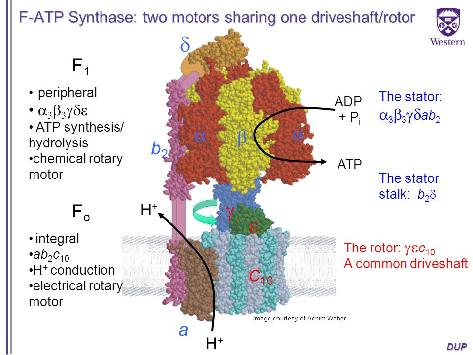 F-ATP Synthase: two motors sharing one driveshaft/rotor