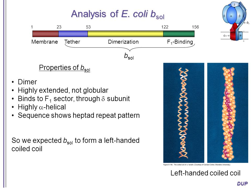 Analysis of E. coli bsol bsol Properties of bsol Dimer