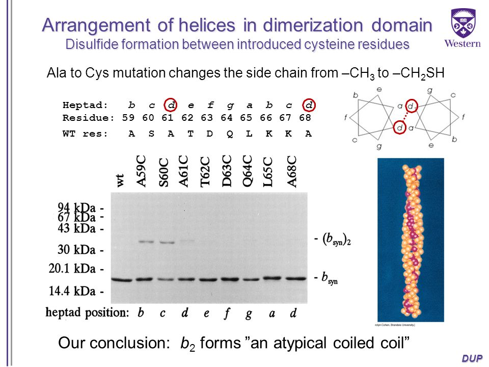 Arrangement of helices in dimerization domain Disulfide formation between introduced cysteine residues
