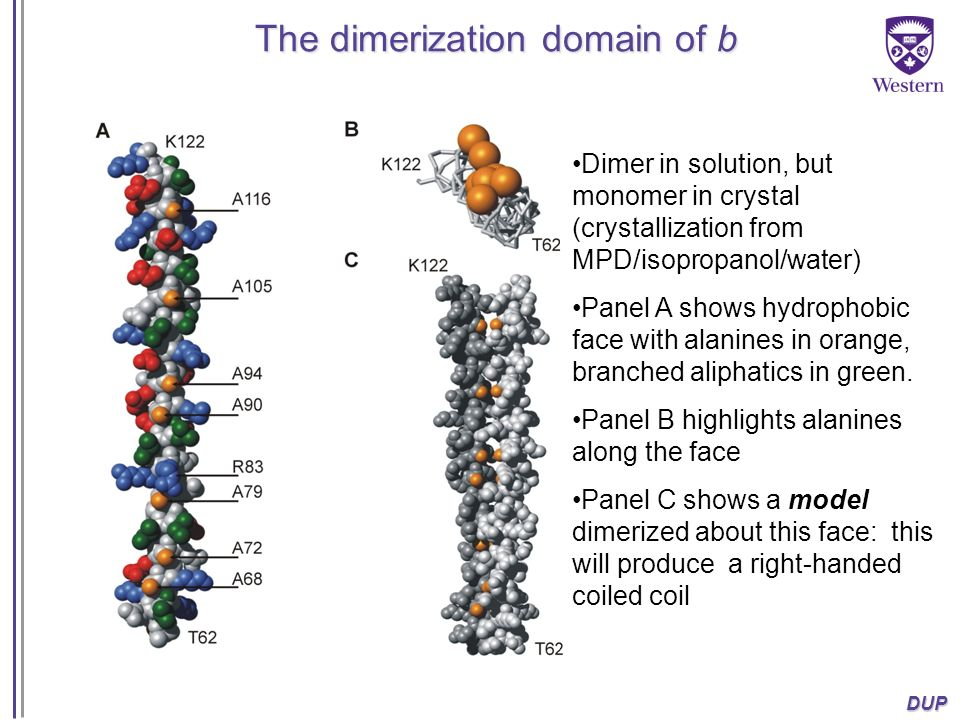 The dimerization domain of b