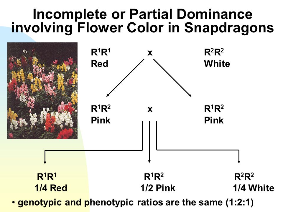 Incomplete or Partial Dominance involving Flower Color in Snapdragons