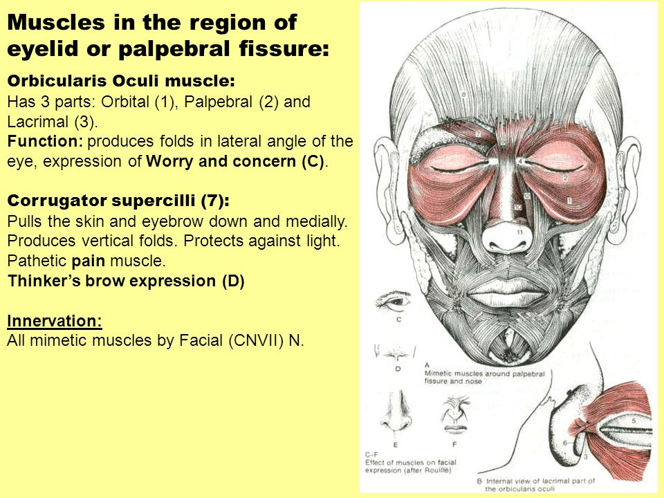 Muscles in the region of eyelid or palpebral fissure: