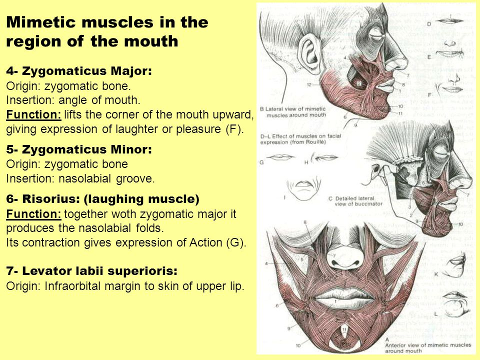 Mimetic muscles in the region of the mouth 4- Zygomaticus Major: