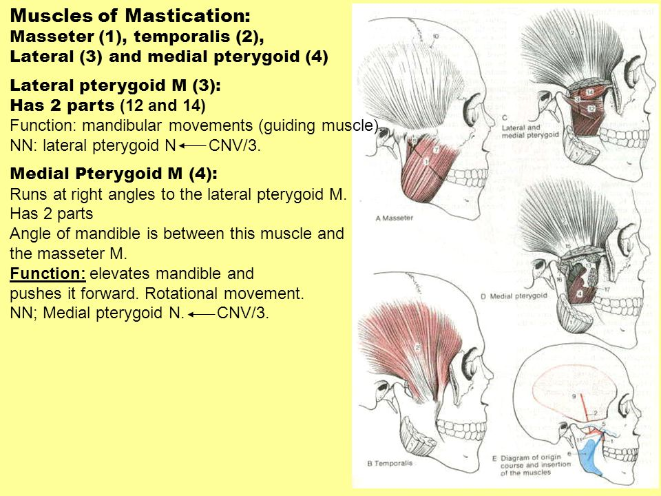 Muscles of Mastication: