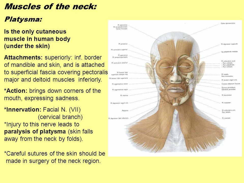 Muscles of the neck: Platysma: Is the only cutaneous
