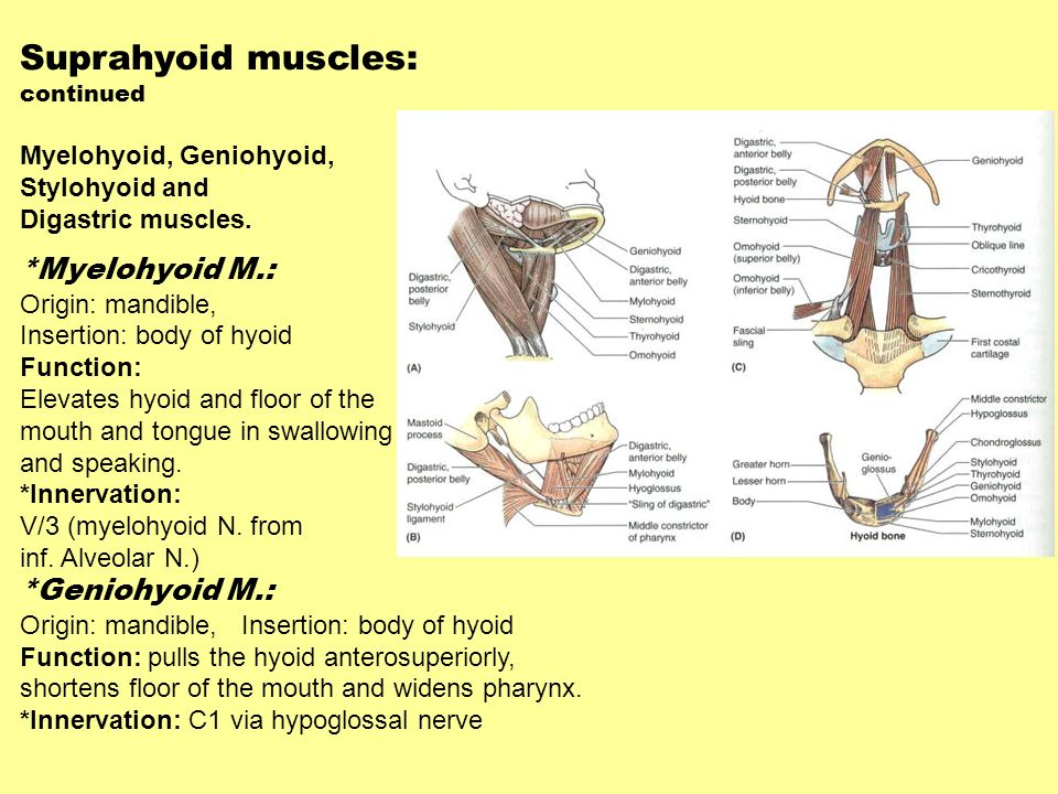 Suprahyoid muscles: *Myelohyoid M.: *Geniohyoid M.: