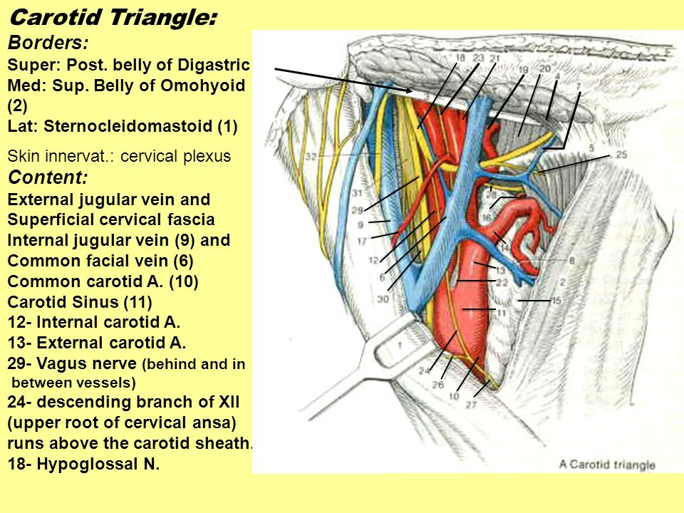 Carotid Triangle: Borders: Content: Super: Post. belly of Digastric
