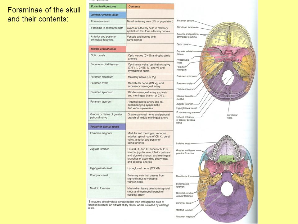 Foraminae of the skull and their contents: