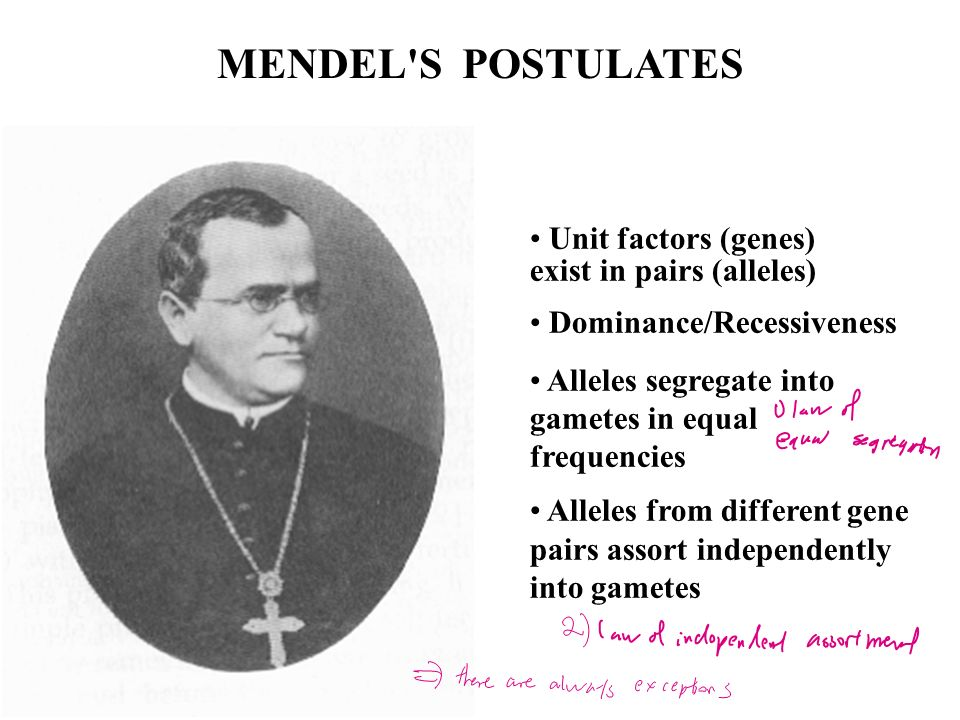 MENDEL S POSTULATES Unit factors (genes) exist in pairs (alleles)