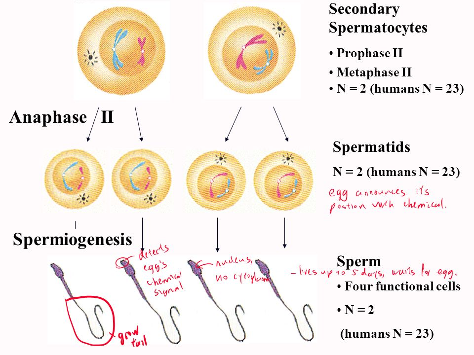 Anaphase II Spermiogenesis Secondary Spermatocytes Spermatids Sperm