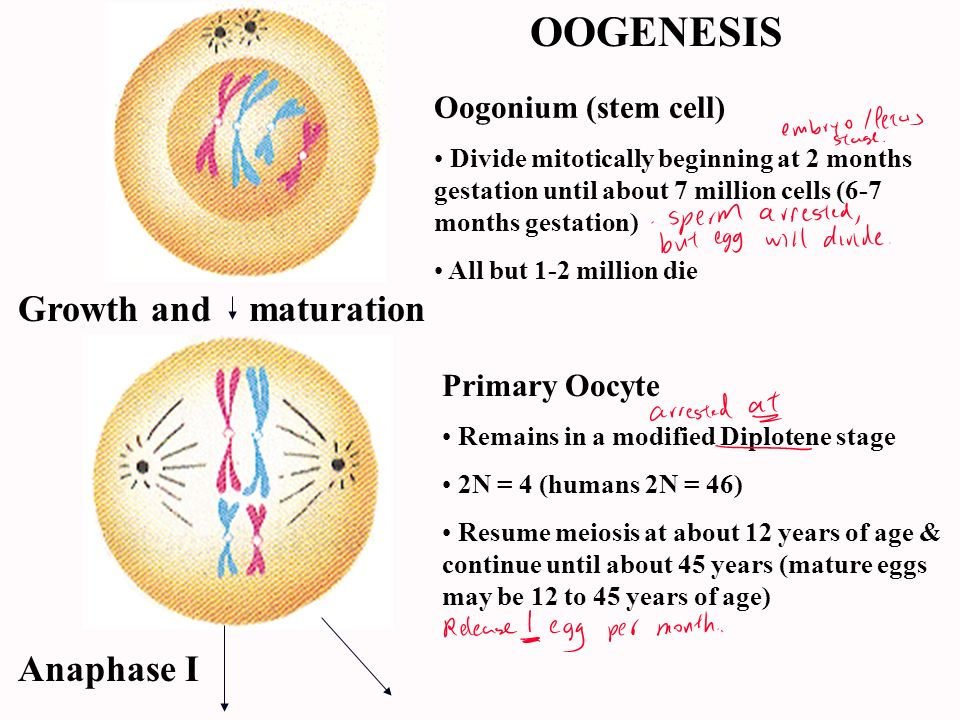 OOGENESIS Growth and maturation Anaphase I Oogonium (stem cell)