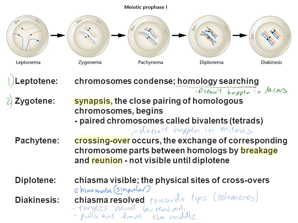 Leptotene: chromosomes condense; homology searching