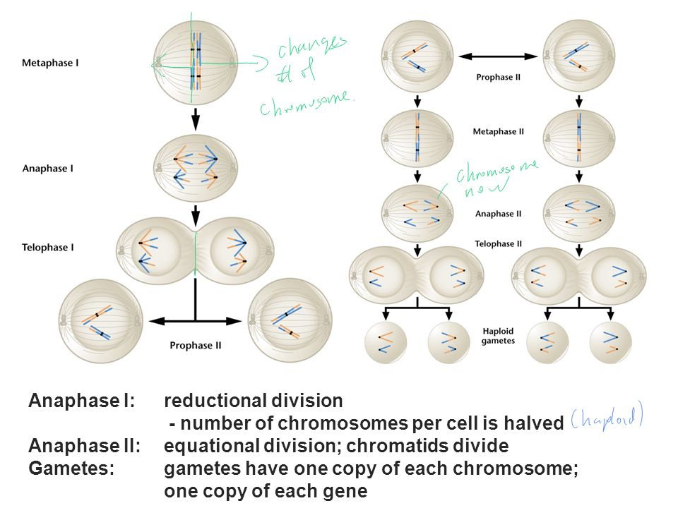 Anaphase I: reductional division