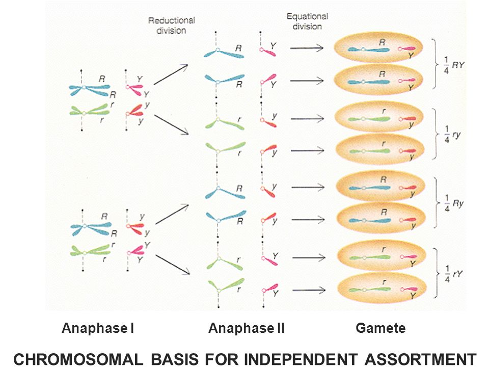 CHROMOSOMAL BASIS FOR INDEPENDENT ASSORTMENT