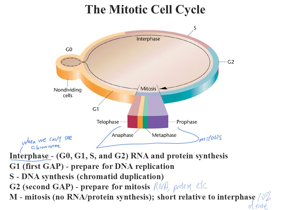 The Mitotic Cell Cycle Interphase - (G0, G1, S, and G2) RNA and protein synthesis. G1 (first GAP) - prepare for DNA replication.