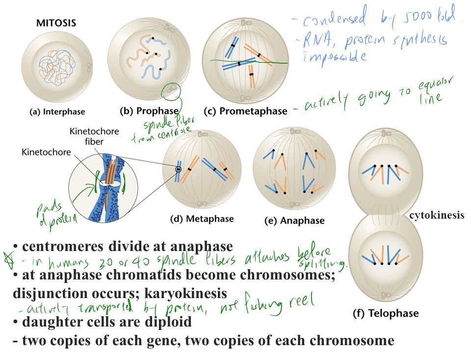 centromeres divide at anaphase