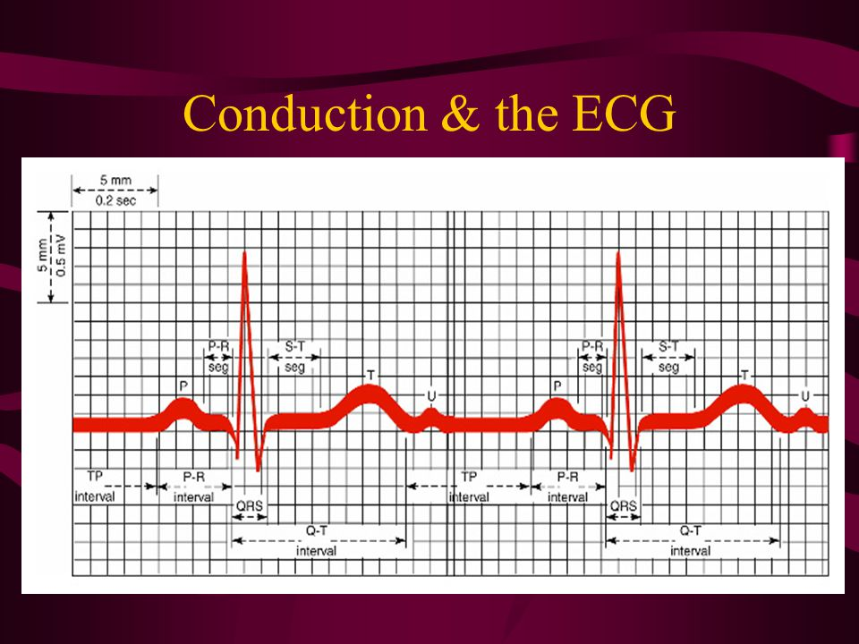 Conduction & the ECG