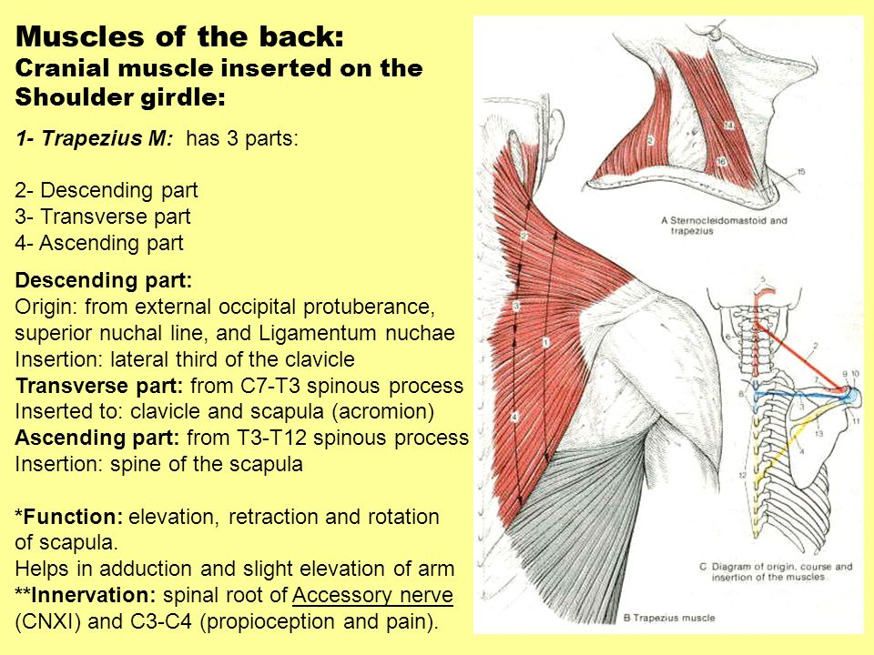 Muscles of the back: Cranial muscle inserted on the Shoulder girdle: