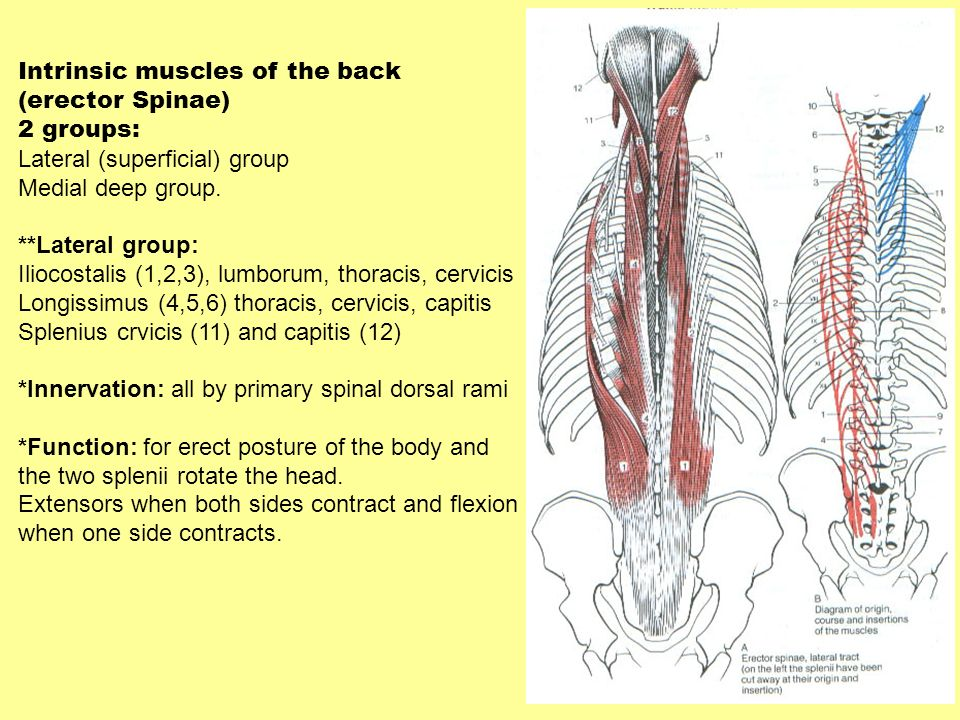 Vertebrae And Muscles Of The Back Univ Of Central Florida Ppt