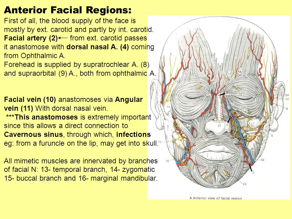 Vessels And Nerves Of The Face Part Of The Head And Neck File