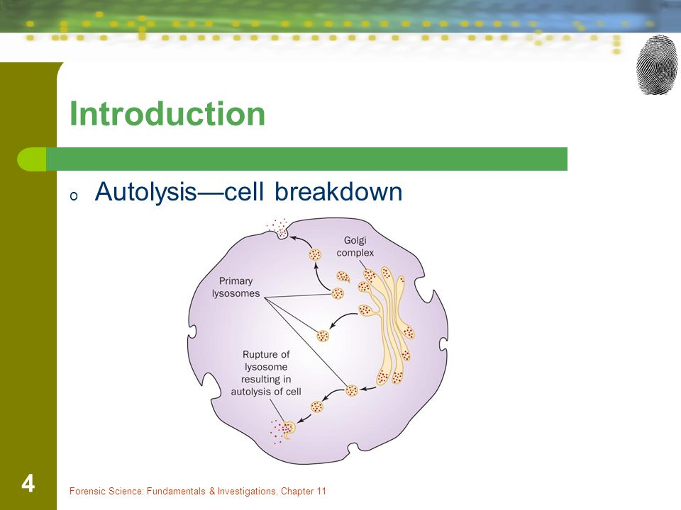 Introduction Autolysis—cell breakdown