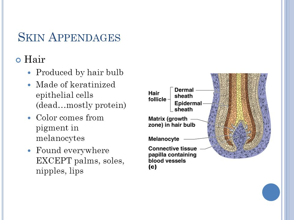 Skin Appendages Hair Produced by hair bulb