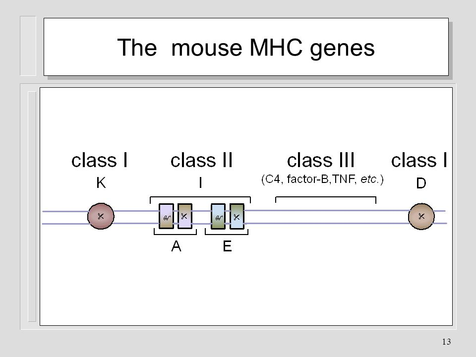 The mouse MHC genes The MHC GENE COMPLEX: