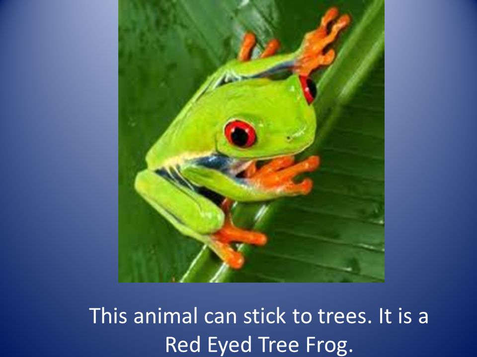 This animal can stick to trees. It is a Red Eyed Tree Frog.