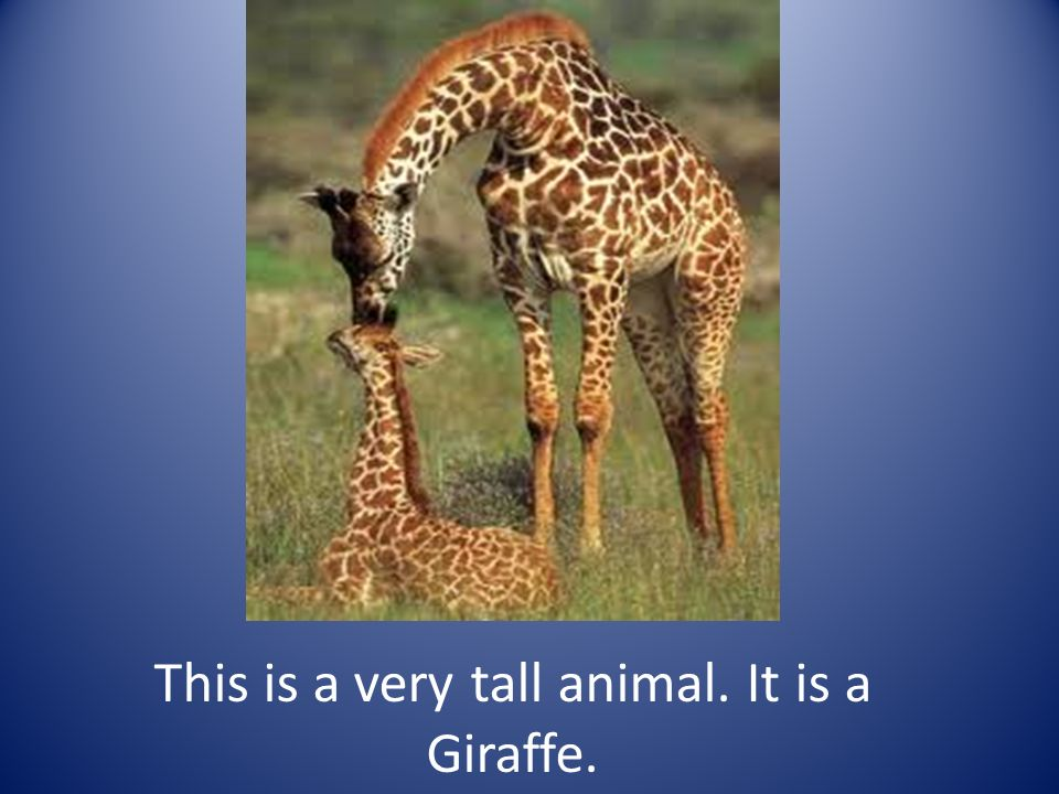 This is a very tall animal. It is a Giraffe.