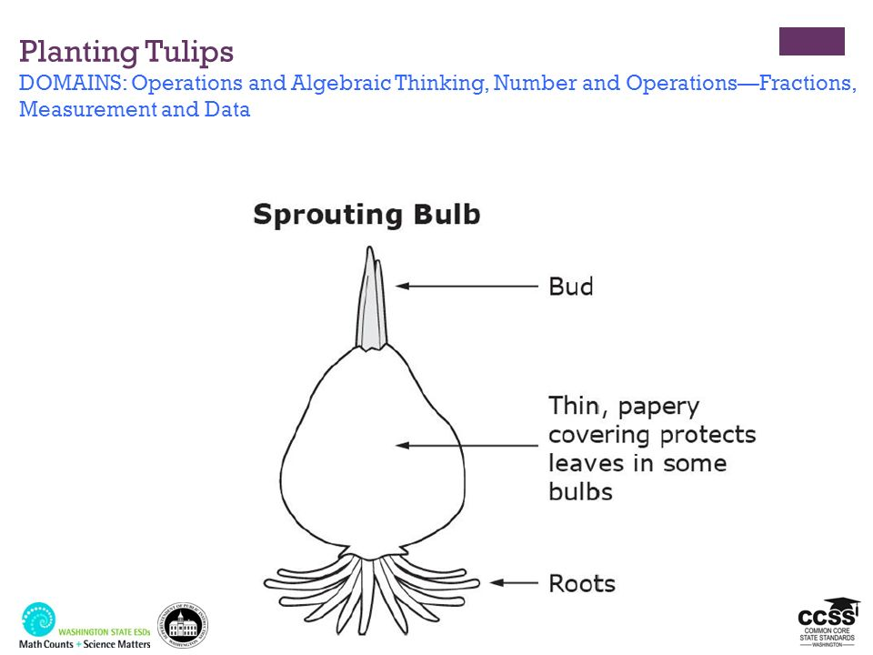 Planting Tulips DOMAINS: Operations and Algebraic Thinking, Number and Operations—Fractions, Measurement and Data