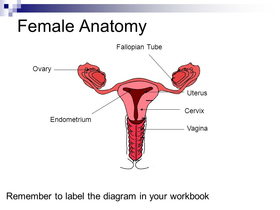 Female Anatomy Remember to label the diagram in your workbook