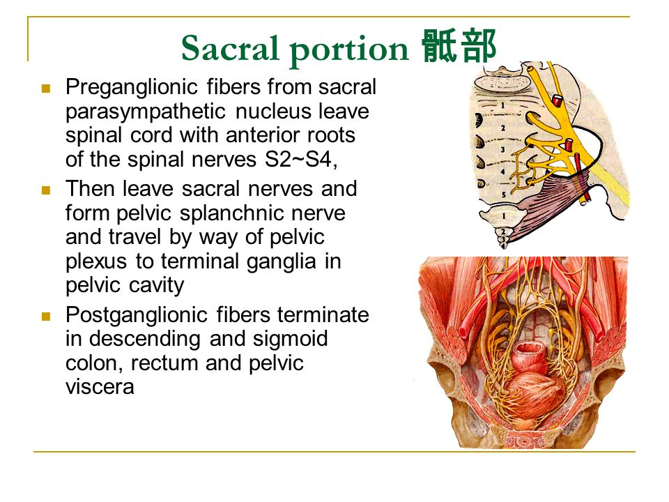 Sacral portion 骶部 Preganglionic fibers from sacral parasympathetic nucleus leave spinal cord with anterior roots of the spinal nerves S2~S4,