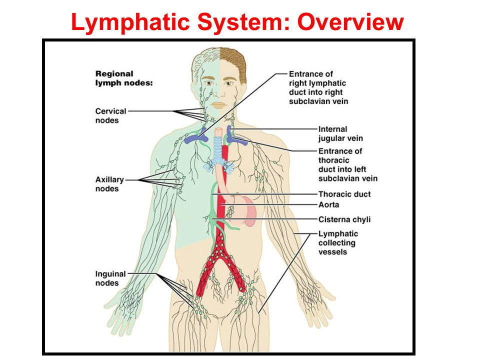 Lymphatic System: Overview