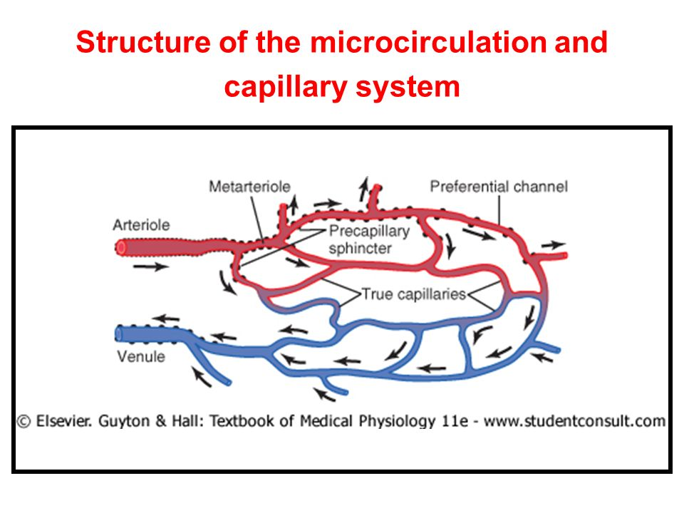 Structure of the microcirculation and capillary system