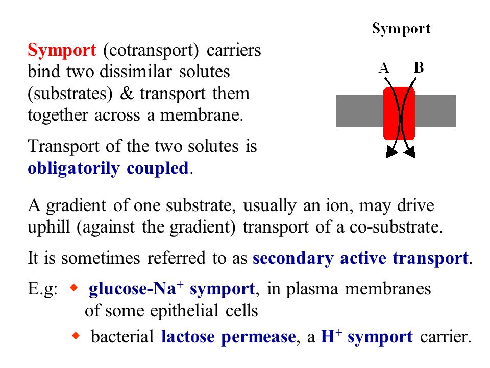 Symport (cotransport) carriers bind two dissimilar solutes (substrates) & transport them together across a membrane.