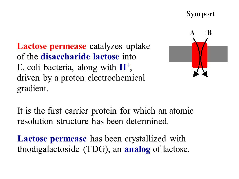 Lactose permease catalyzes uptake of the disaccharide lactose into E